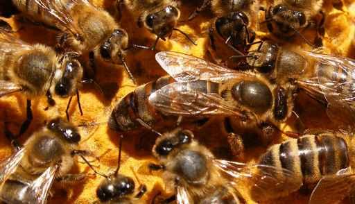 Naissance des abeilles d'hiver