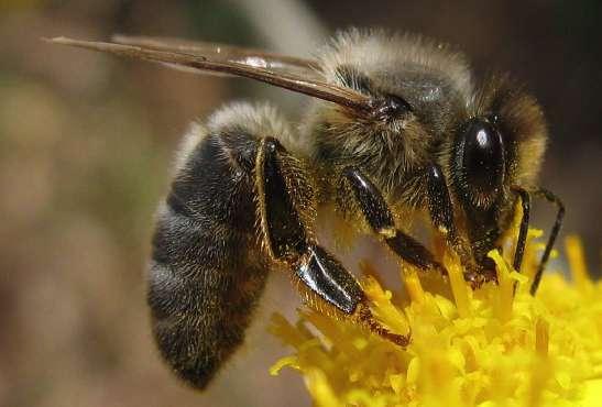 Pourquoi parrainer des abeilles noires ?
